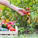 pestovanie rajčín