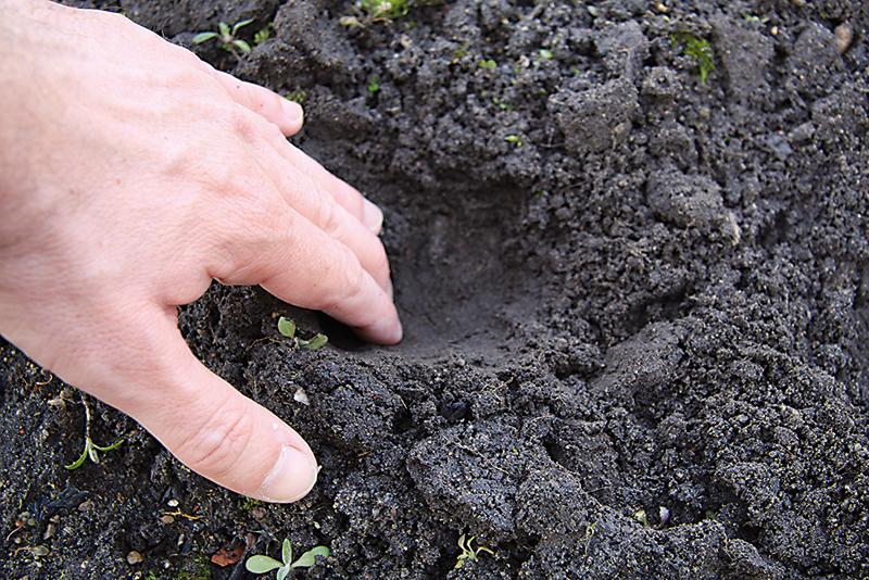 V prekyprenej pôde vyhĺbime jamky, do ktorých budeme vysievať. Od seba môžu byť vzdialené asi 20 cm.