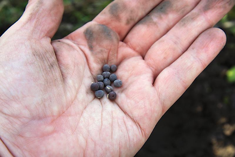 Hrachor má väčšie semená, tie si z vrecúška vysypeme do dlane a z nej si ich budeme brať