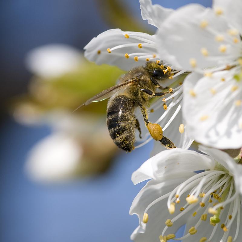 Včely v meste.