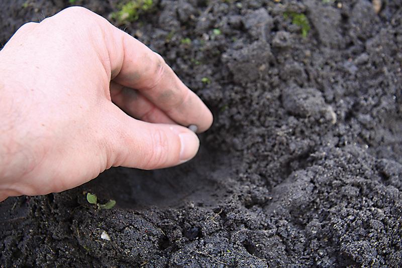 Do jedného hniezda vysievame 2 – 3 semená tak, aby sa navzájom nedotýkali, ideálne 3 cm hlboko. Zasypeme zeminou a mierne utlačíme.