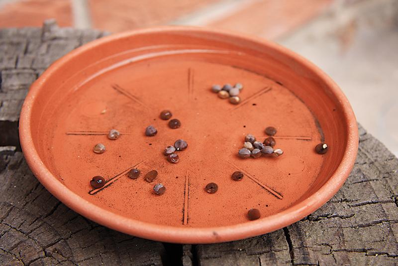 Rastliny hrachora si môžeme aj predpestovať. Začneme tým, že si ich na asi 4 hodiny namočíme do misky s vodou.