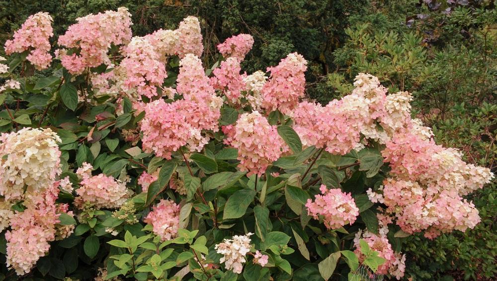 Očarí veľkými súkvetiami v rôznych odtieňoch, pričom farba kvetov sa postupne mení, zvyčajne od krémovej po ružovú.