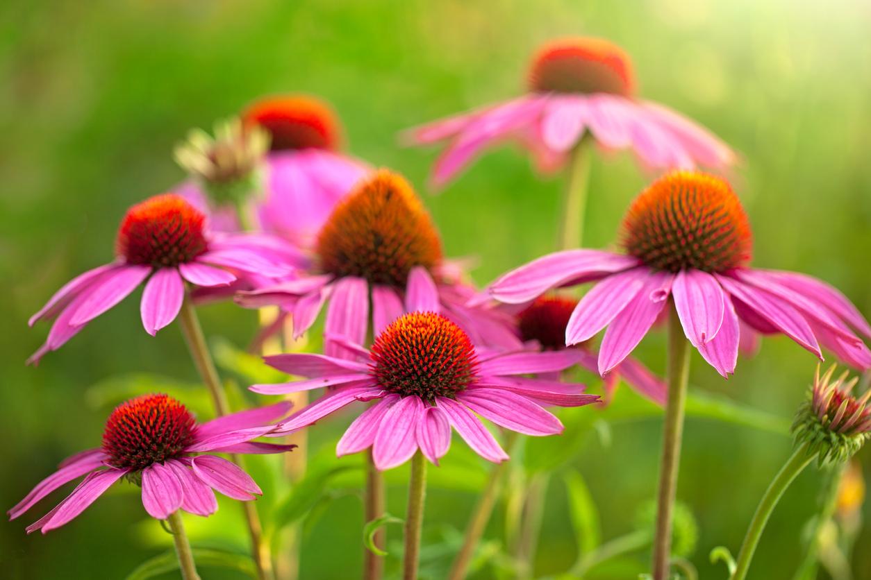 Túto rastlinu poznáme predovšetkým pre jej liečivé účinky, ale vie prekvapiť aj svojou krásou.