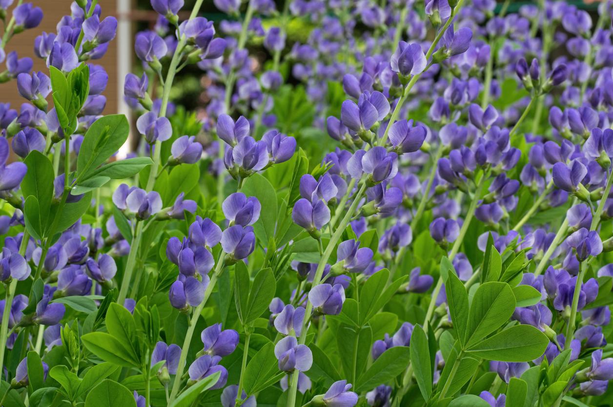 Pozoruhodná trvalka, ktorá vás na konci jari poteší neobvyklými klasovitými kvetmi v bohatých odtieňoch – od tmavoružovej, fialovej až po svetloružovú, dokonca i žltej.