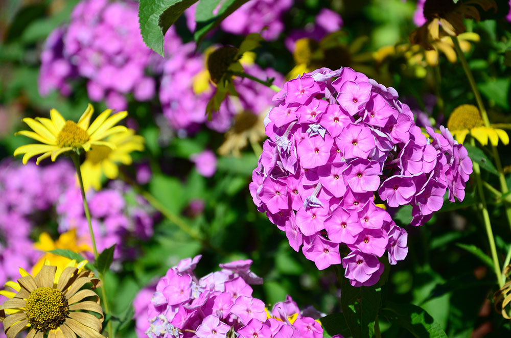 fialové kvety