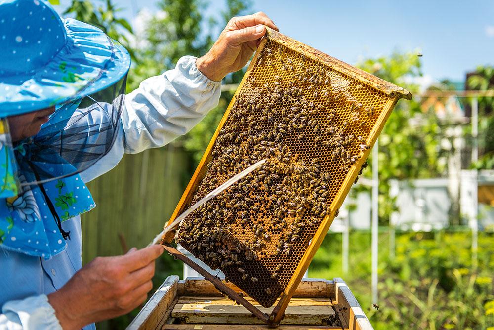 včelár kontroluje úle