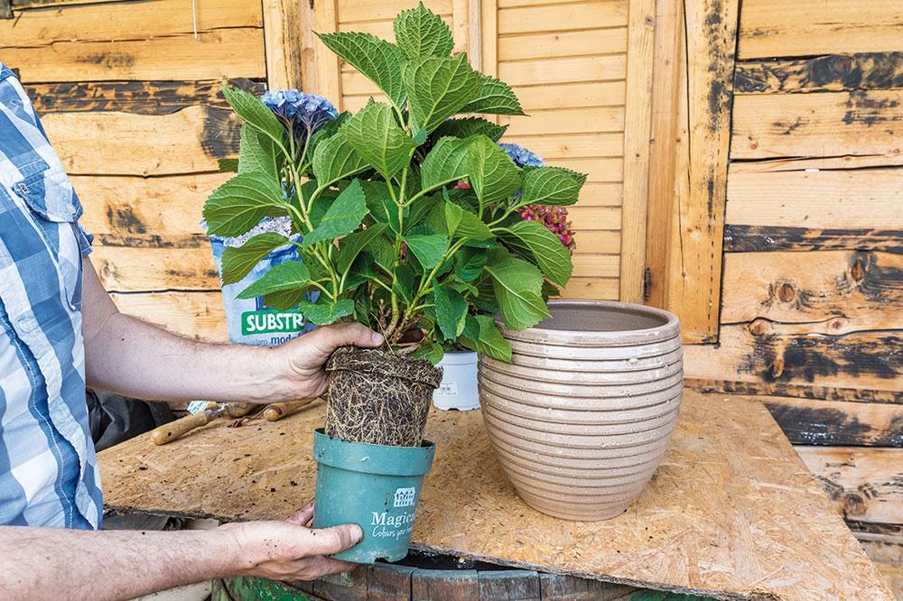 sadenie hortenzie do kvetináča