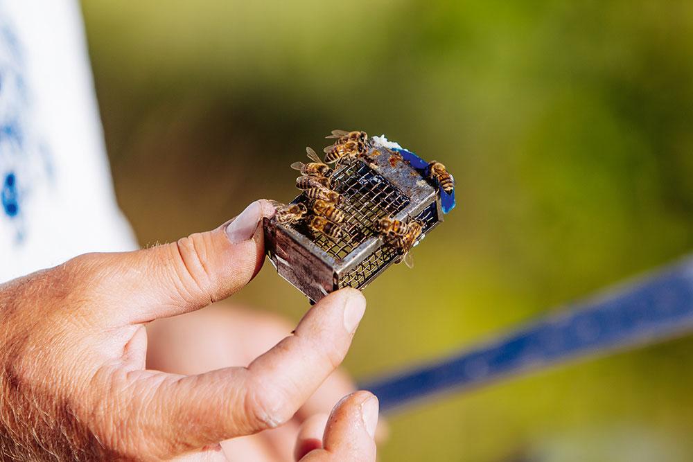 včelia matka v kovovej klietke