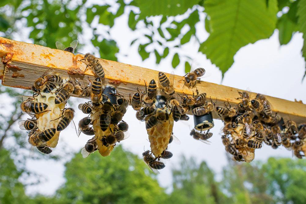 Včelársky rámik so zaviečkovanými matečníkmi