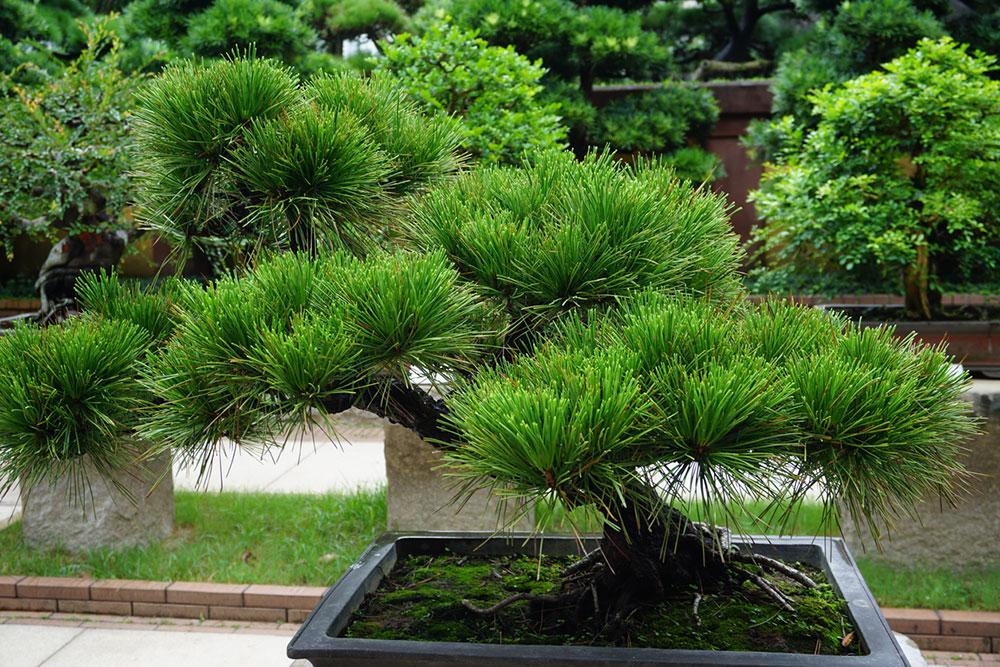 Čierna borovica (Pinus thunbergii)