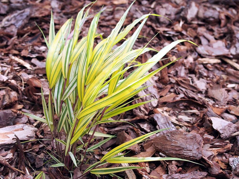 Japonská lesná tráva
