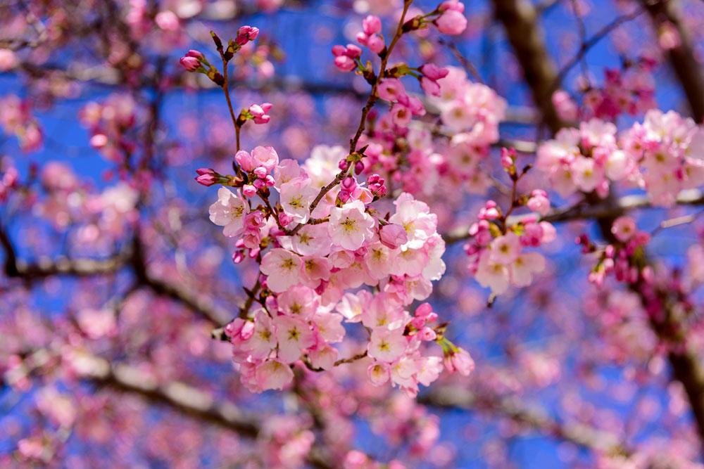 Japonská čerešňa