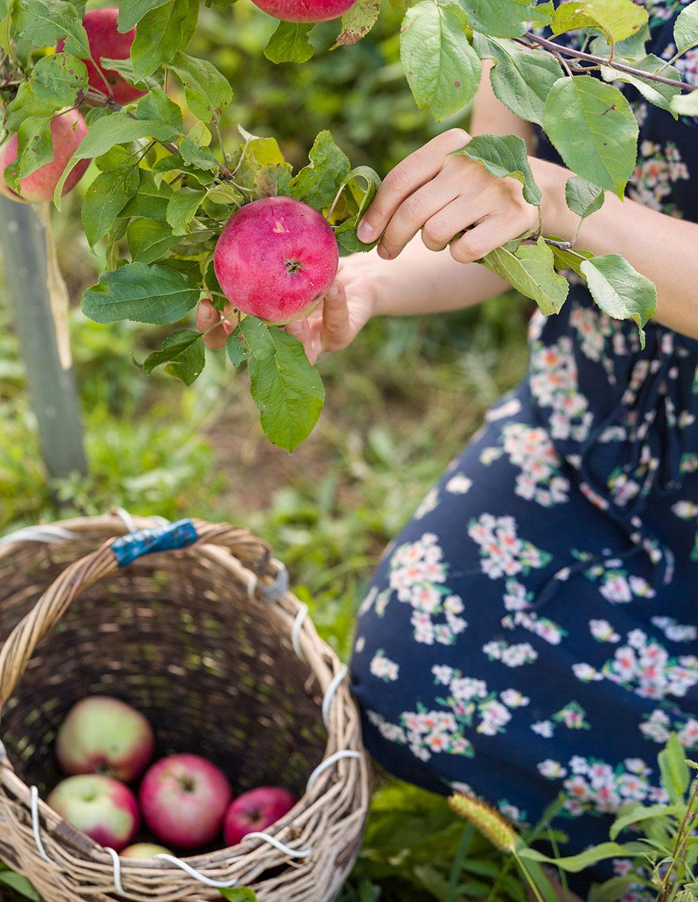 zber jabĺk