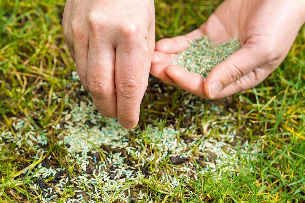 osivo určené na regeneráciu trávnikov