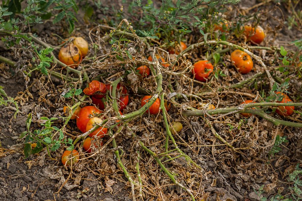 kompostovanie paradajok