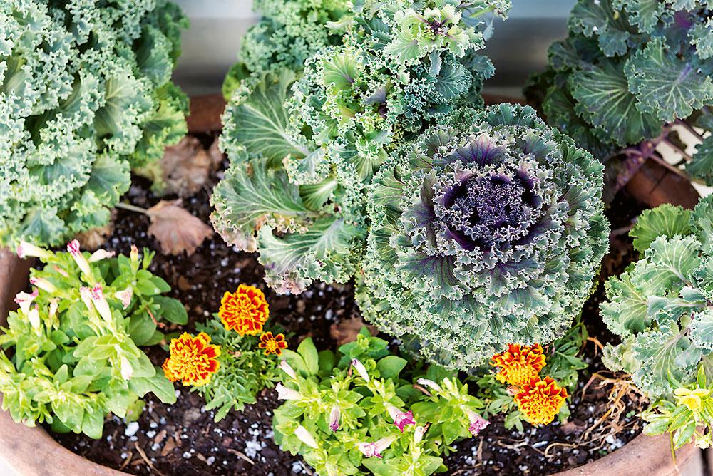 Okrasná kapusta Brassica oleracea
