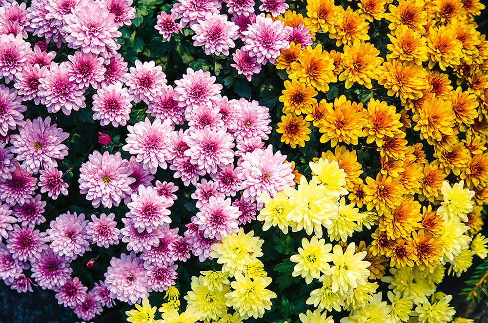 Chryzantéma Chrysanthemum indicum