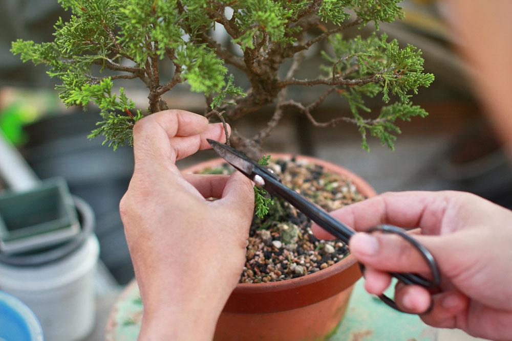 tvarovanie bonsajov