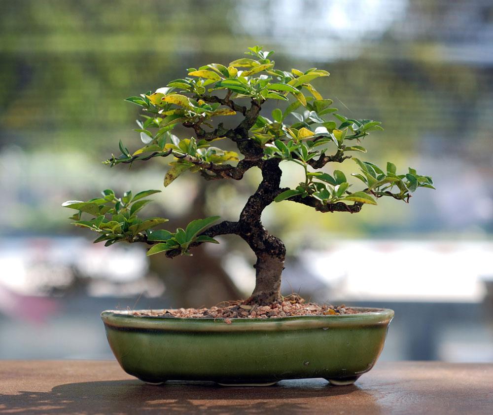 bonsaj