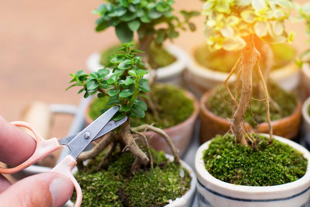 zastrihávanie bonsajov