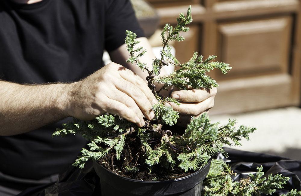 starostlivosť o bonsaje