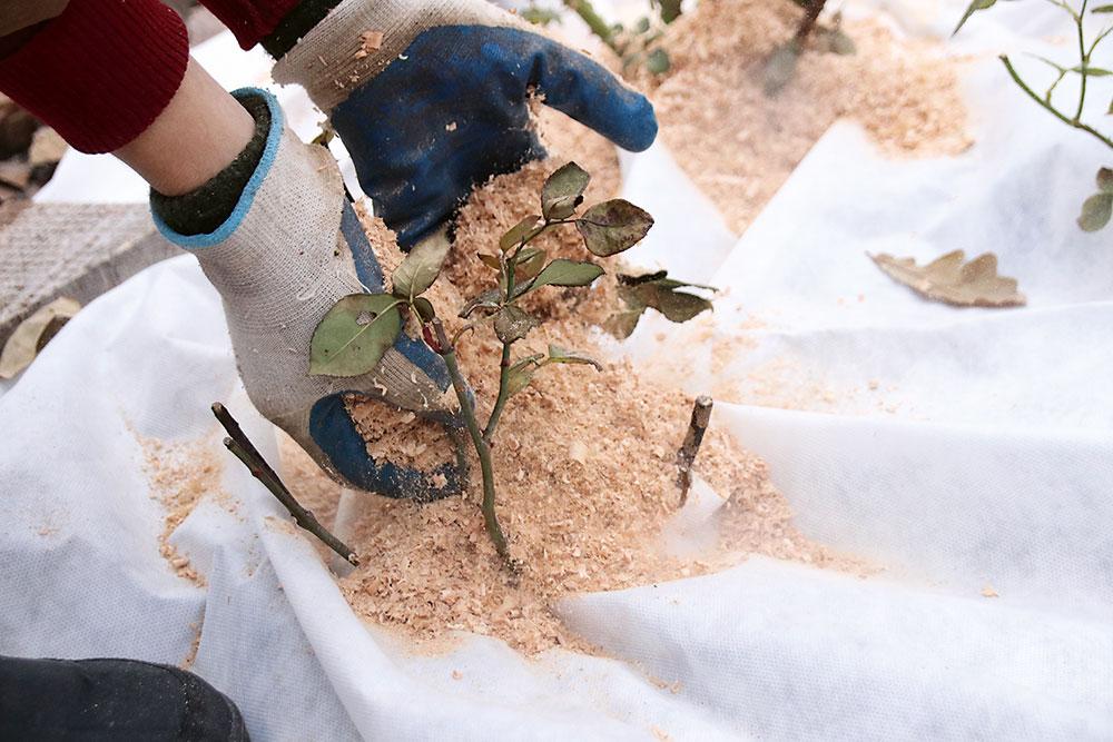 Ruže vzáhone nakopcujte zeminou aprihrňte pilinami