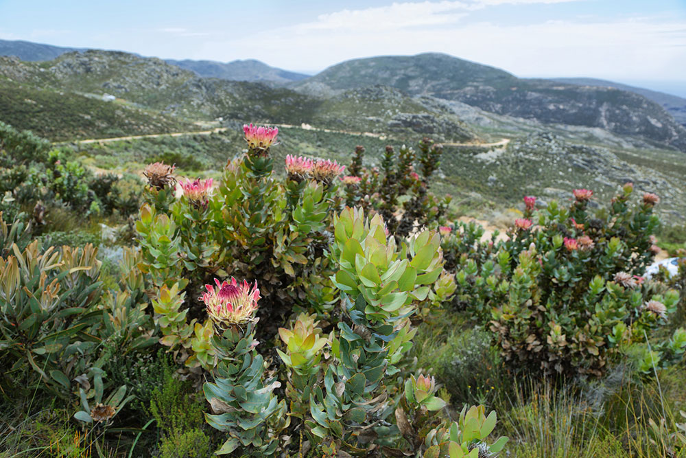 Protea kráľovská
