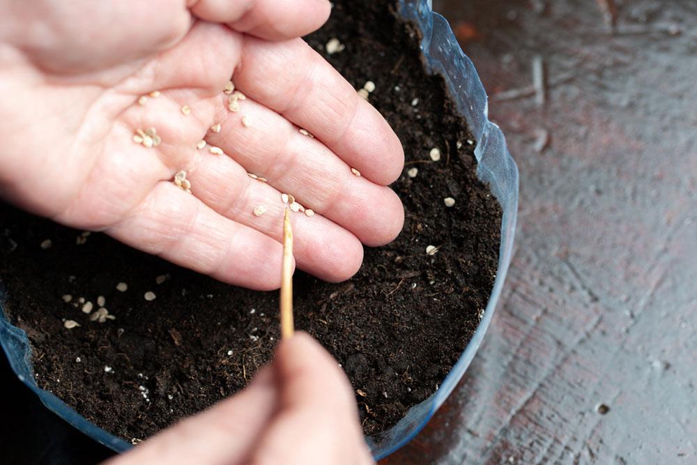 morenie semien