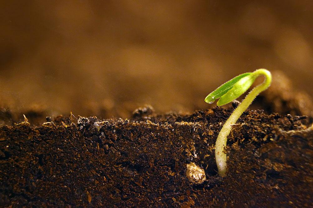 klíčenie semien