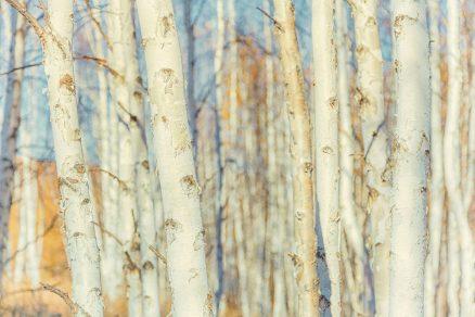 kôra stromov