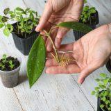 rozmnožovanie izbových rastlín