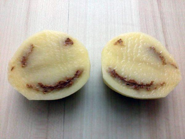 kruzkovitost zemiakov
