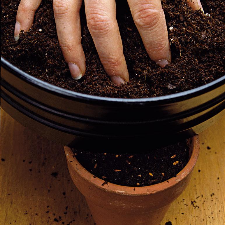 sadenie muškátov