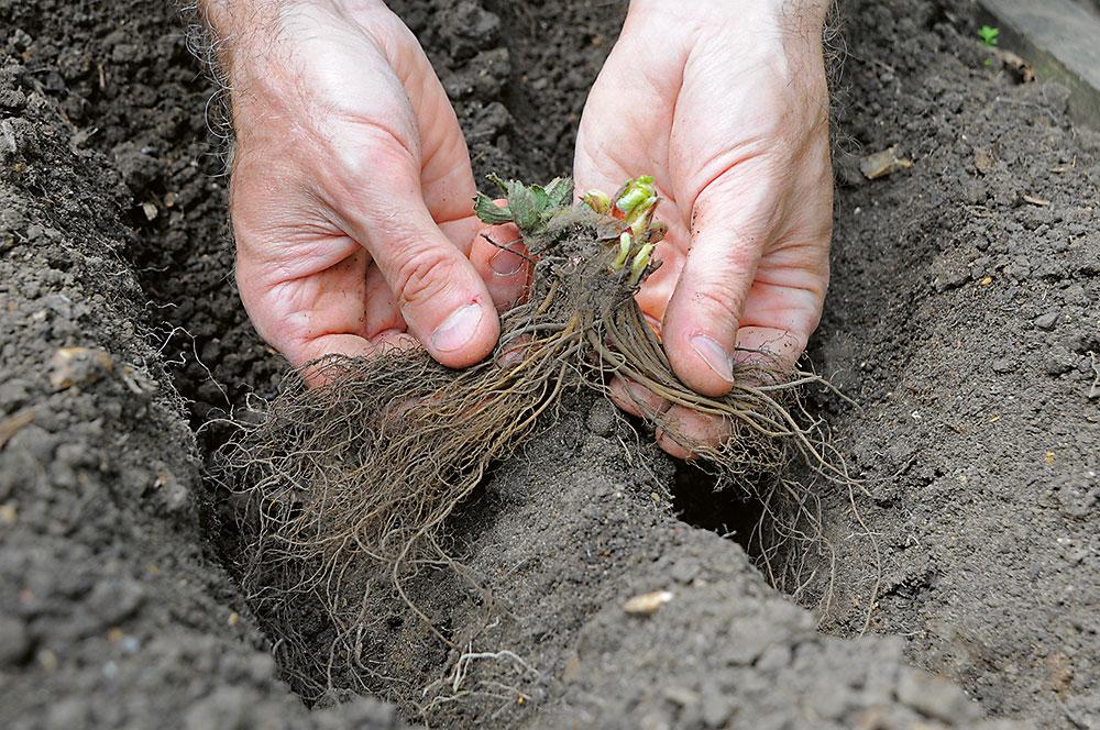 sadenie jahôd