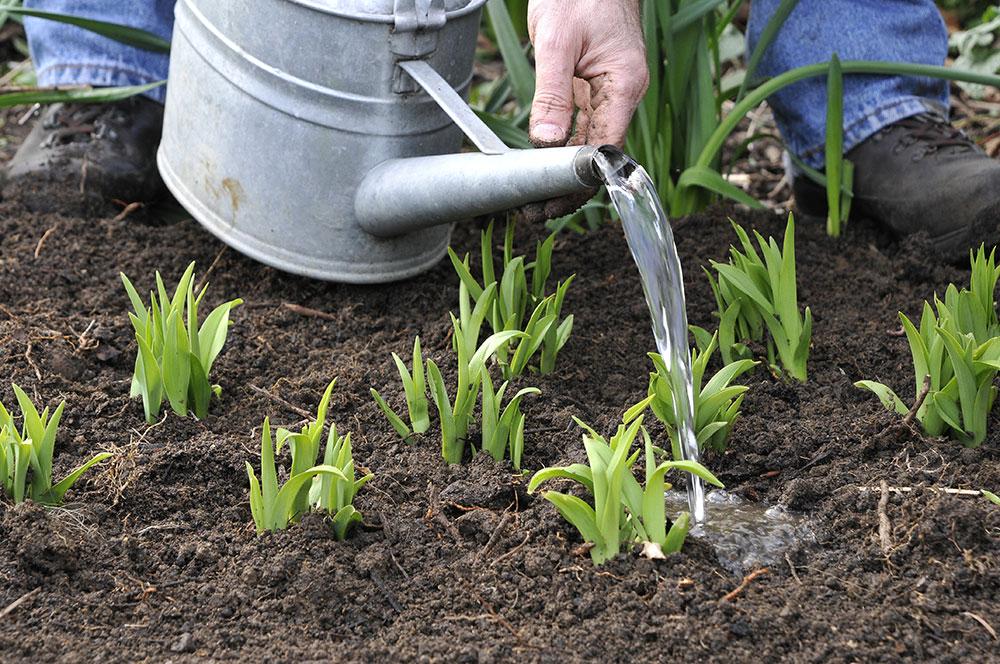 sadenie ľalioviek
