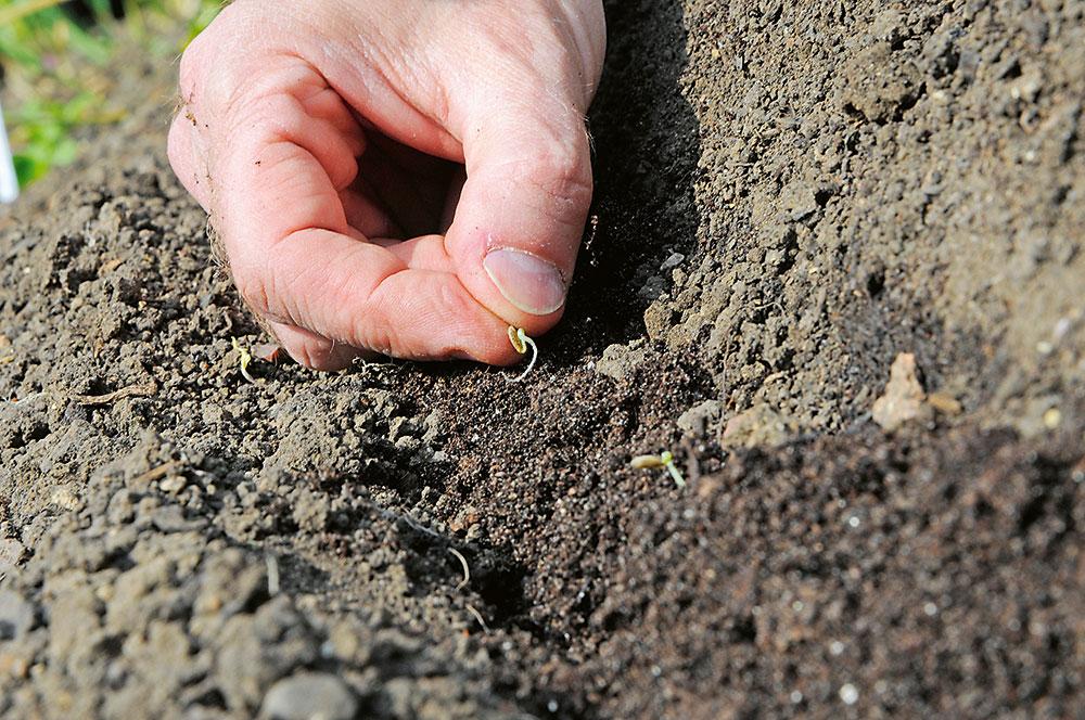 sadenie paštrnáku