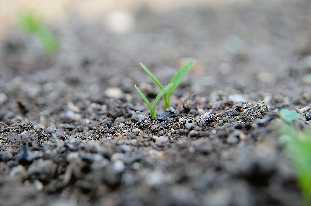 pestovanie paštrnáku