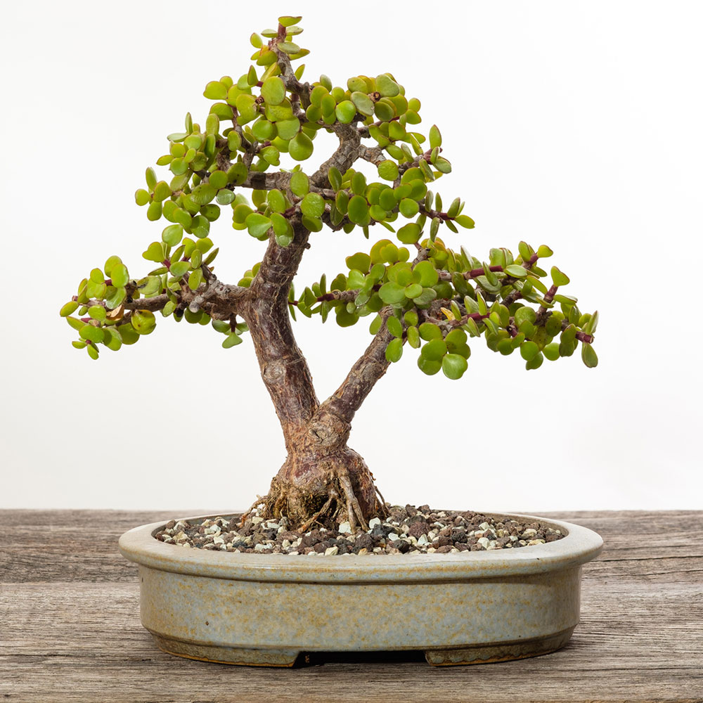 Portulacaria afra ako bonsaj