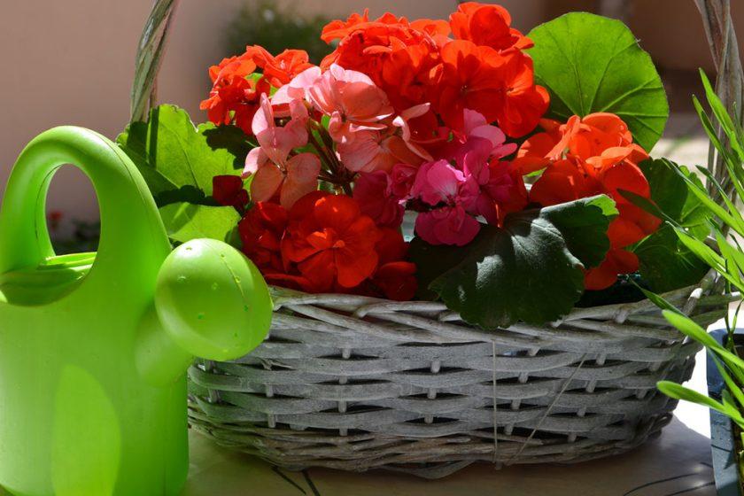 muškáty v kvetináči