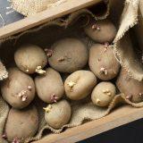 klíčenie zemiakov