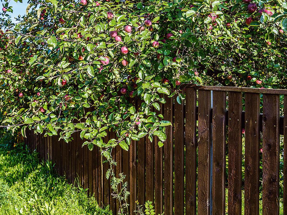prerastanie kríku cez plot
