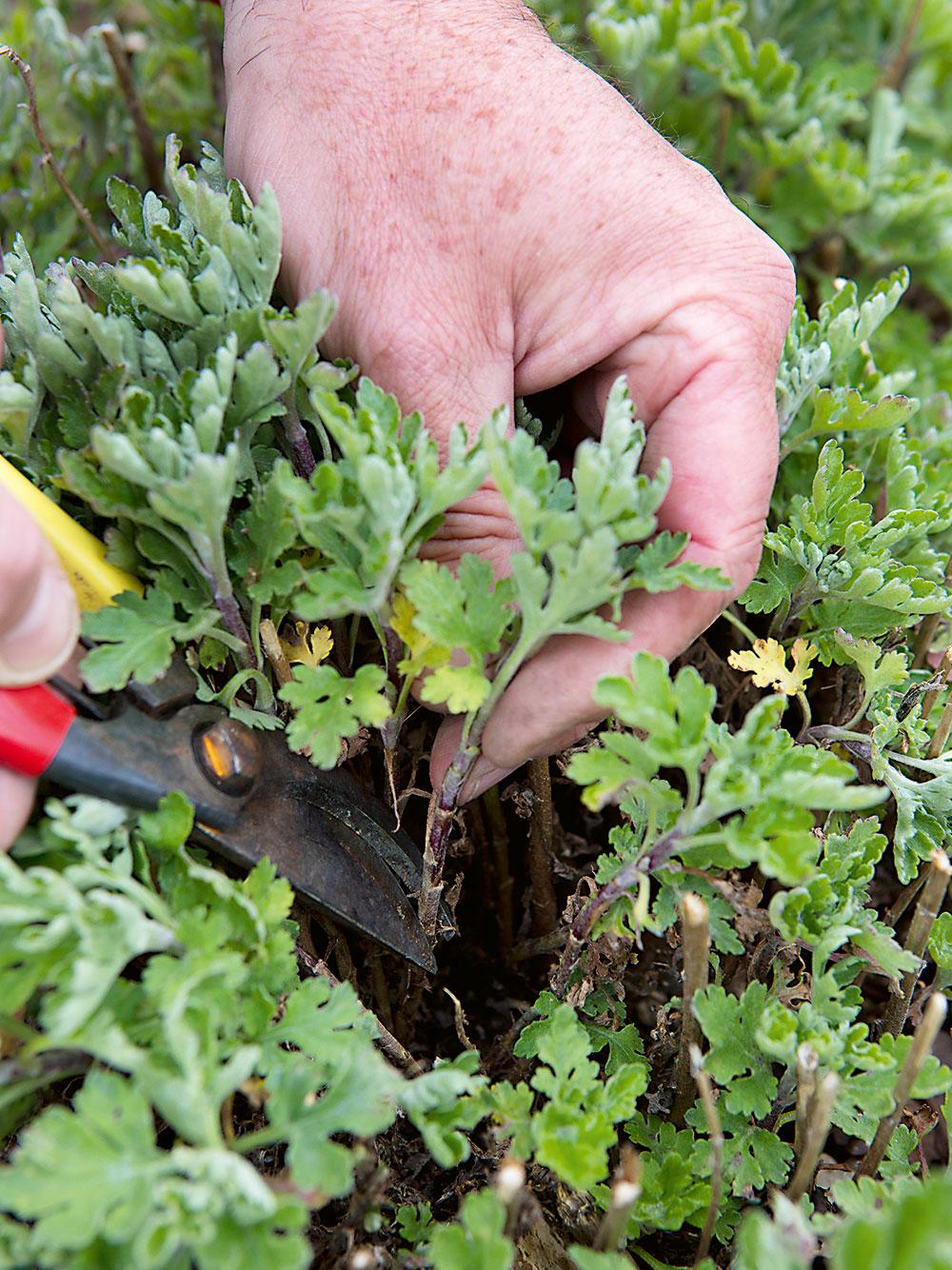 Ako obnoviť záhon chryzantém