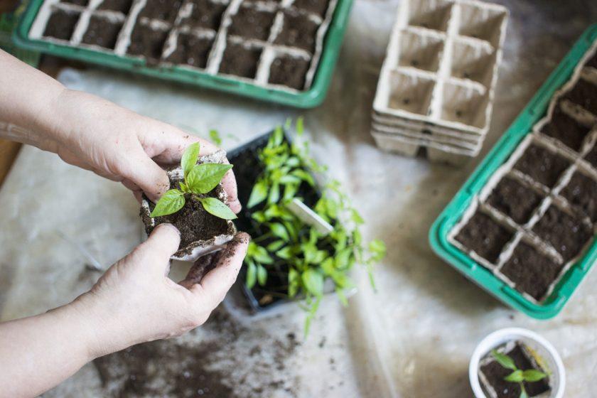 pestovanie zo semien