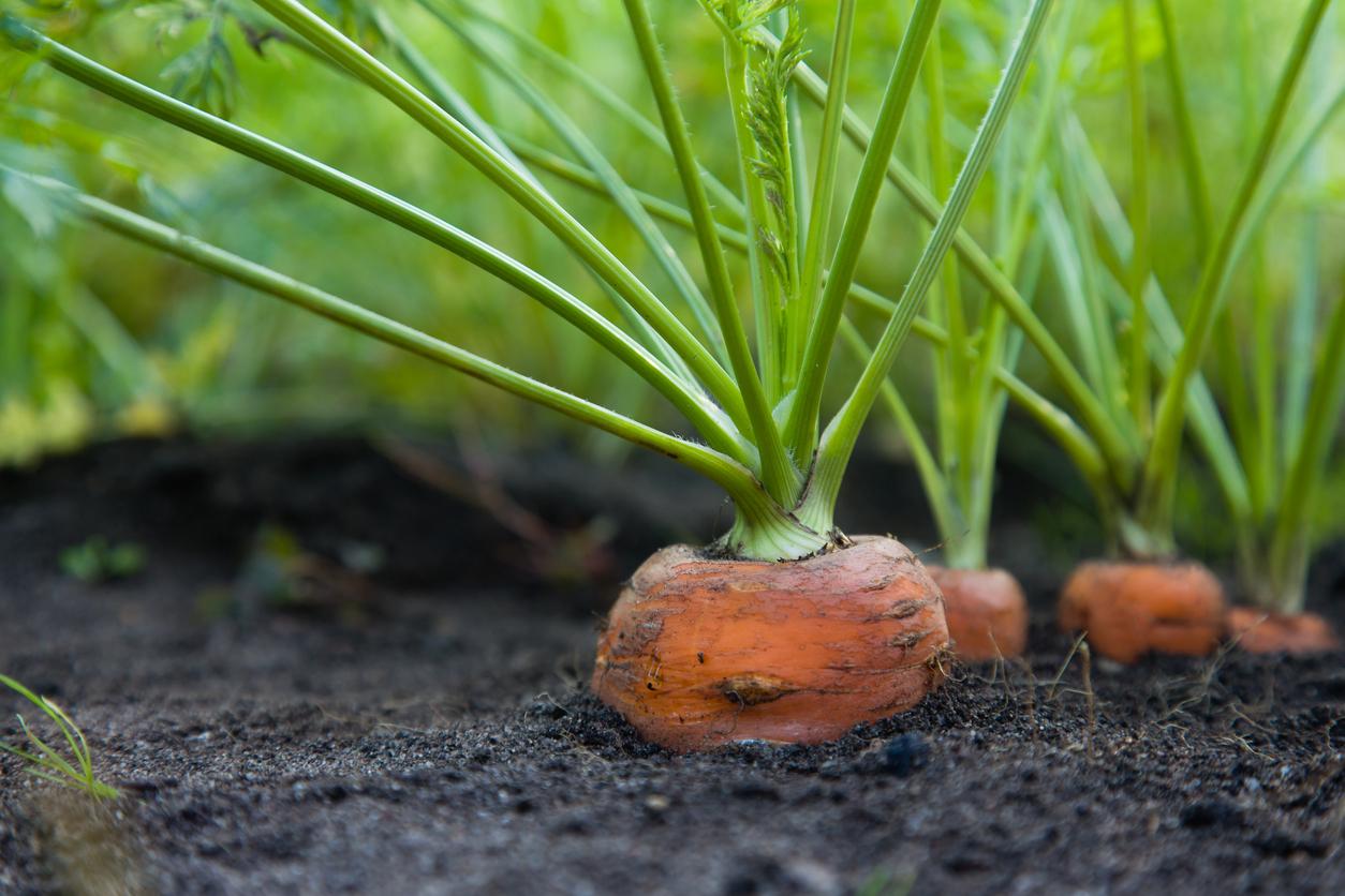 pestovanie mrkvy