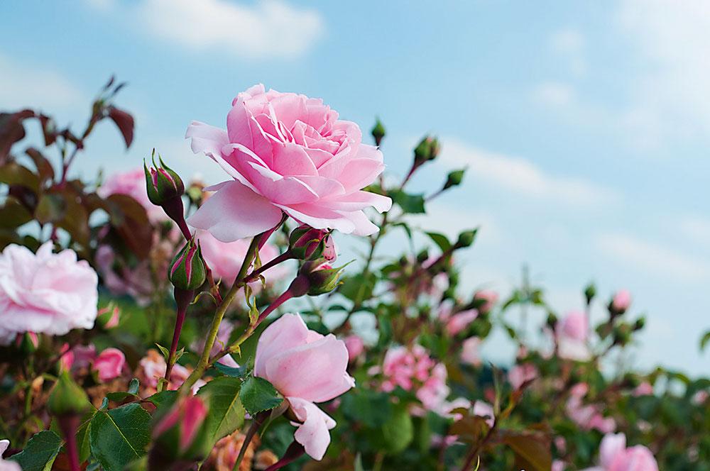 ruža v záhrade