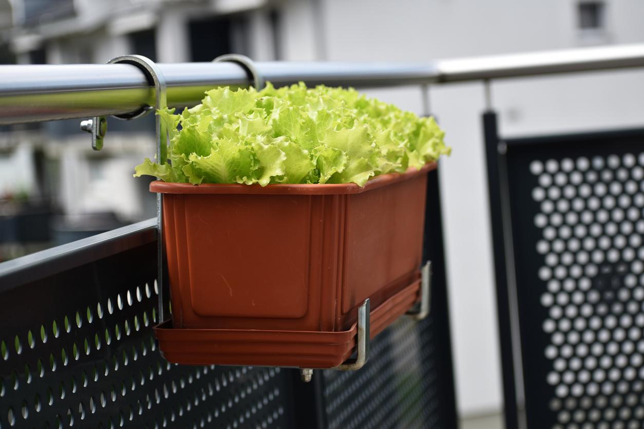 pestovanie zeleniny na balkóne