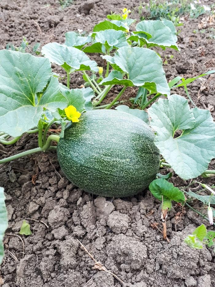 Pestovanie melónov