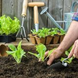 sadenie zeleniny