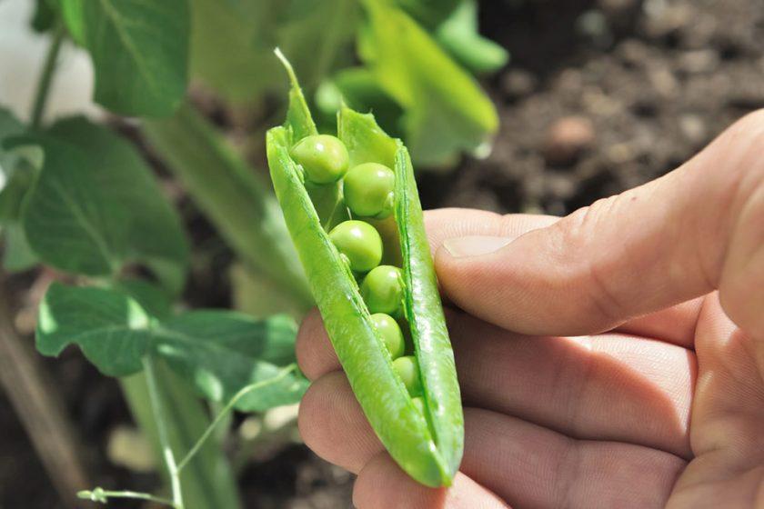 Zelená fazuľka